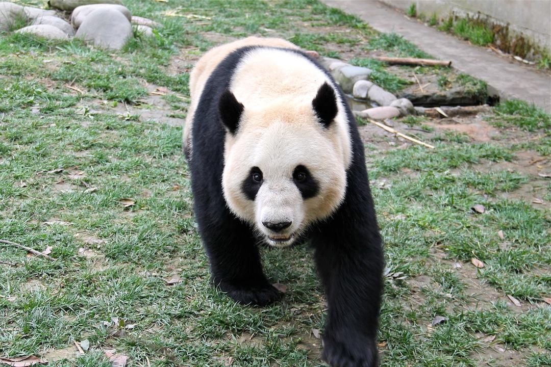 What Sounds Do Pandas Make Pdxwildlife