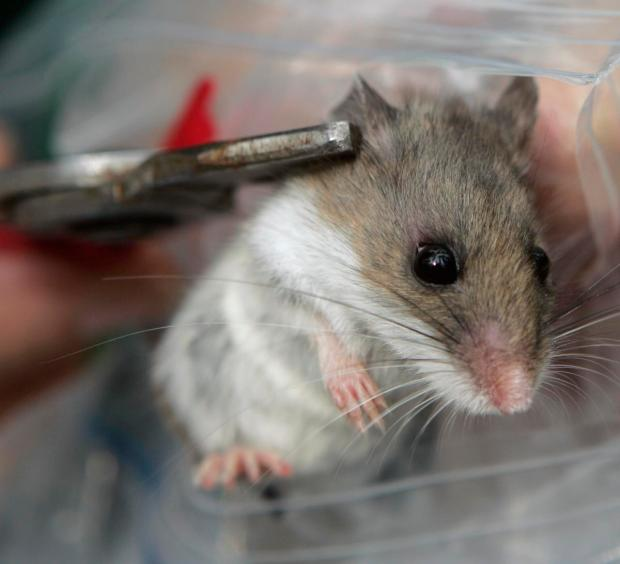 HEALTH: Rodents carrying potentially fatal hantavirus found in ...