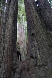Redwood Photo by Daniel Lee