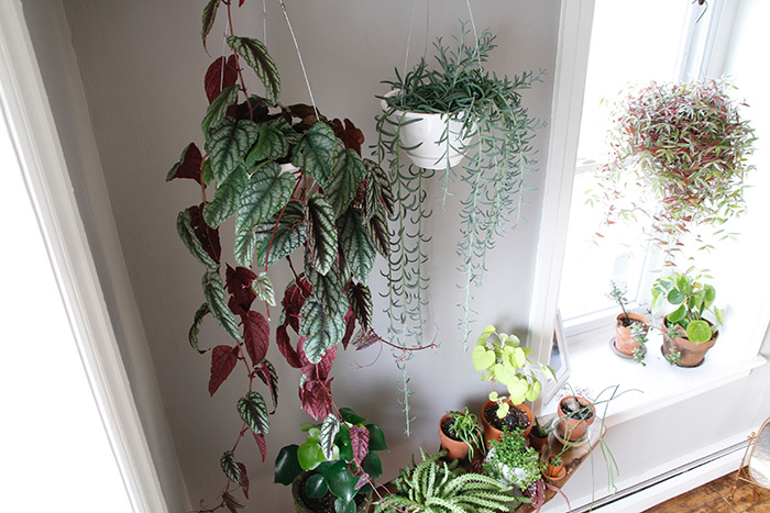 Peace Tree Houseplants