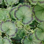 Pelargonium distinction