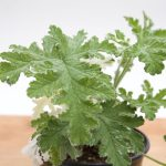 Pelargonium Joy Lucile