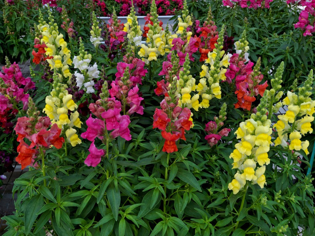 Snapdragon Candy Tops