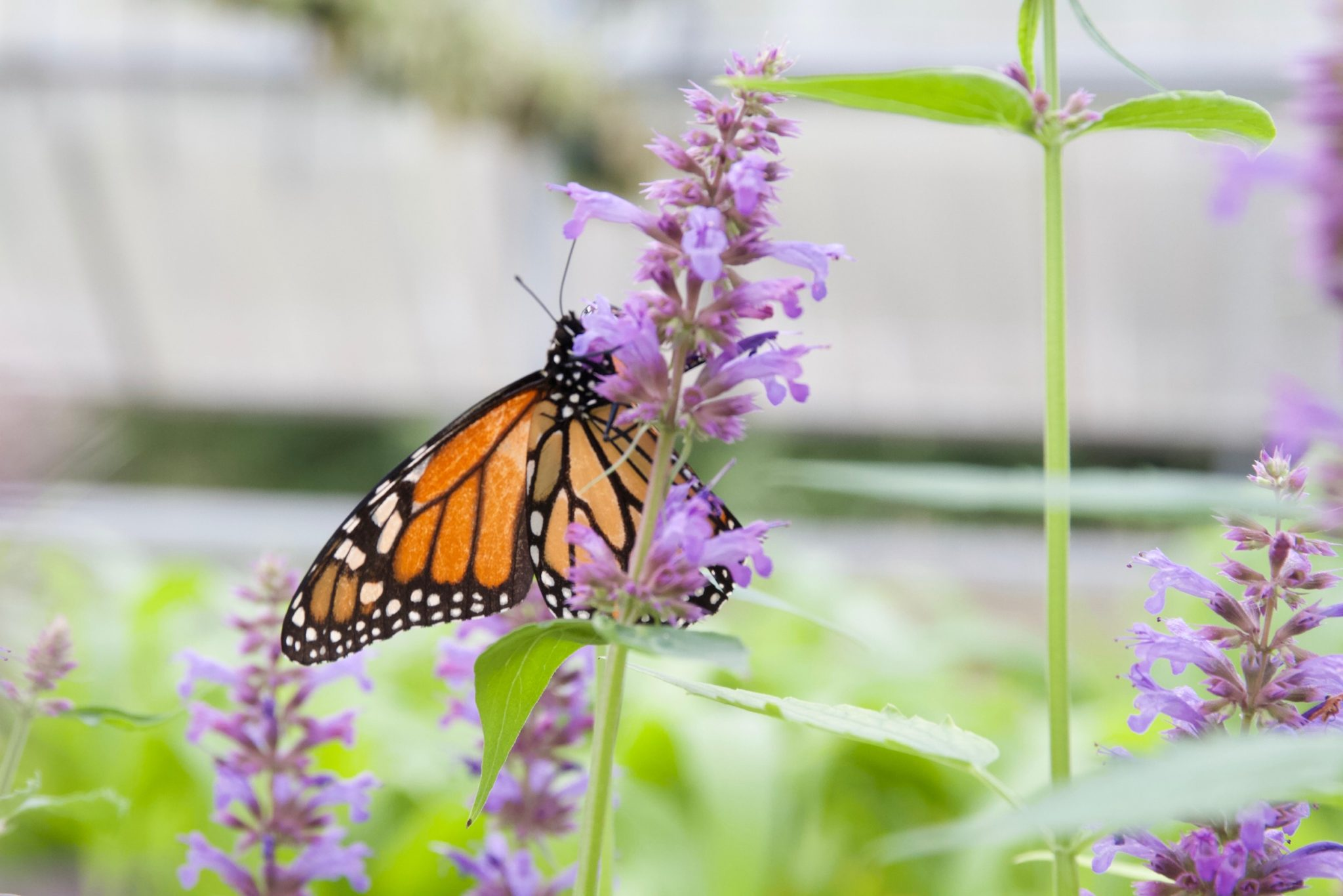 Monarch on Agastache