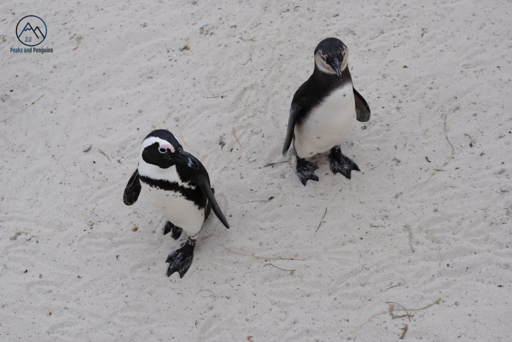 An image of two wild African penguins on the white sand of Boulders Beach. Both penguins have black backs and feet, and white bellies. They have feathers that are slightly pink above their eyes. The sand looks soft and white, and is covered with the tracks of other penguins.