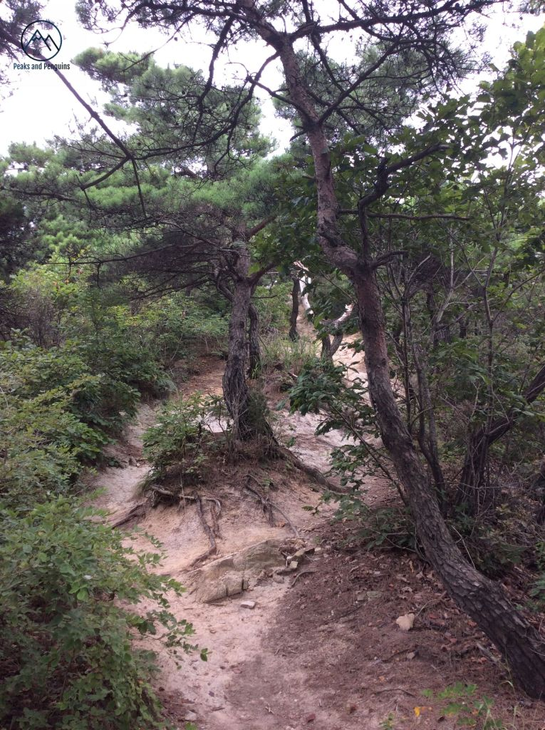 An image showing the trails in Deoksan Provincial park. A seam of earth runs down the center of the image, interrupted by the gnarled roots of trees that rise up from the middle of the path. The slope is not severe, and the forest to the sides of the path is dense but not overgrown.