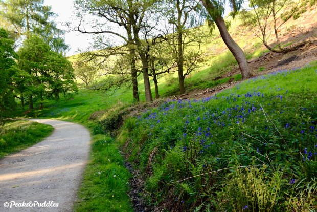 The banks of Hase Bank Wood turn blue come May, carpeted in English bluebells.