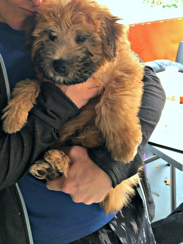 Wheaton Terrier Puppy