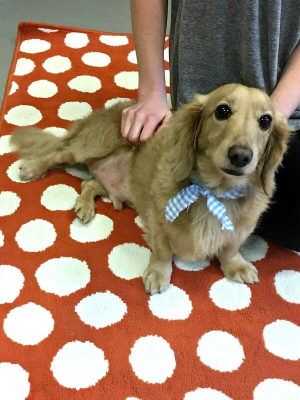 dachshund and golden retriever mix