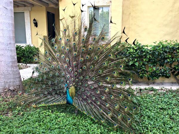 Zoetry Paraiso de la Bonita Peacock