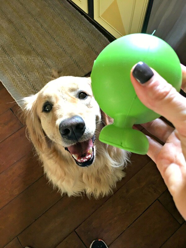 golden retriever and ball