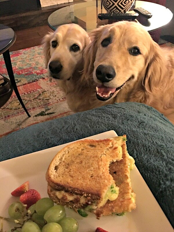golden retrievers begging