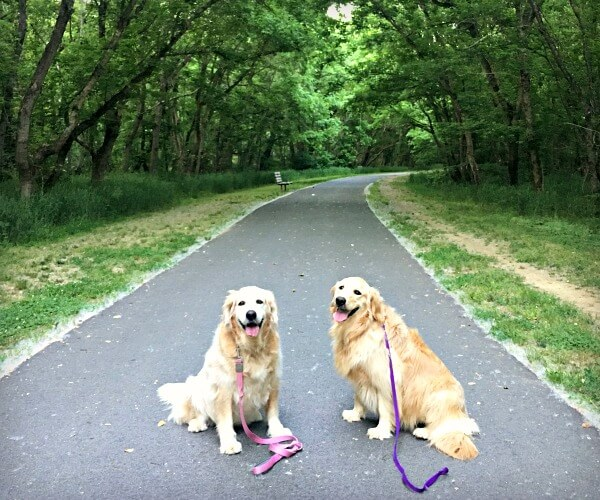 walking golden retrievers