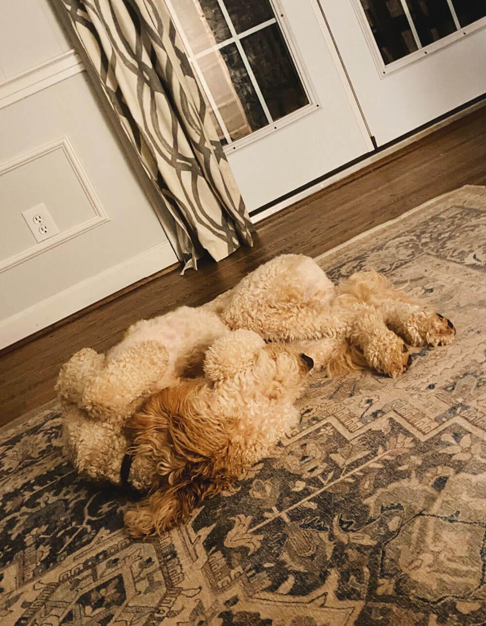 goldendoodle sleeping