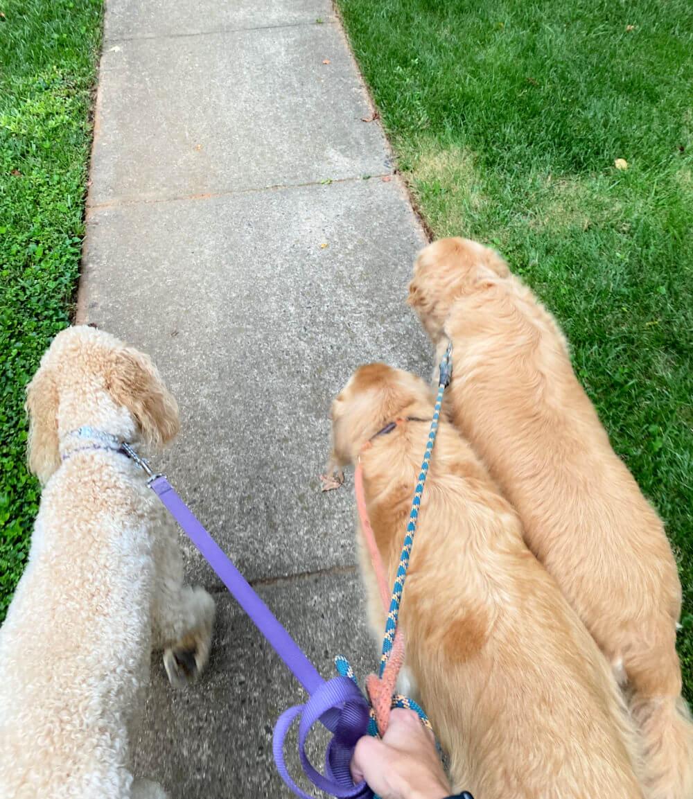 walking three dogs