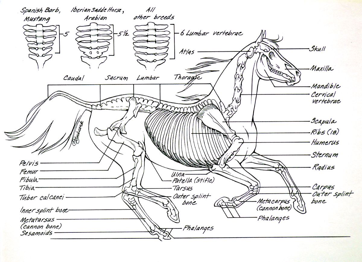 parts of a blank horse diagram wiring horn relay skeleton to label the bones imageresizertool com
