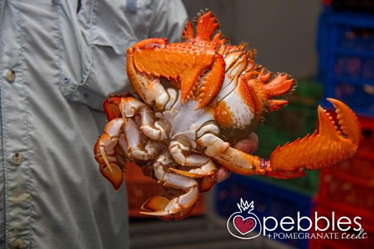 fraser-isle-spanner-crabs11