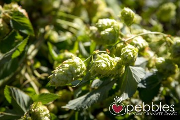 red-hill-brewery-hop-picking12