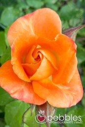 samaria-rose-farm38