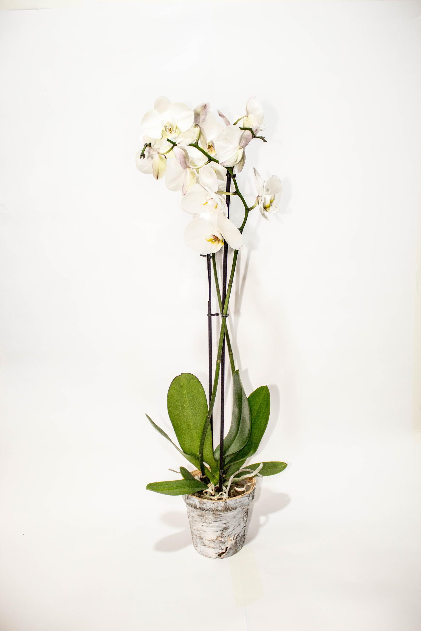 orquidea-2