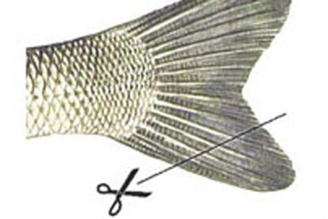Une partie de la nageoire caudale de certains poisson doit être coupée avant le débarquement.