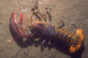 Connecticut lobstermen could also be affected by the bill.
