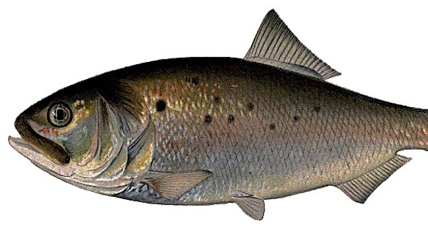 The Bunker Resurgence: The Good News Beyond Recent Fish Kills