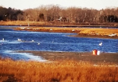 Southold Seeks Genetic Shellfishery Testing