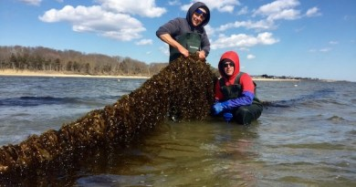 Stony Brook University scientist Mike Doall and oyster farmer Paul McCormick with kelp grown on the Great Gunn oyster farm this spring.