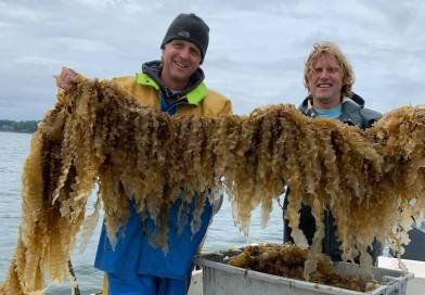 Good News for Kelp
