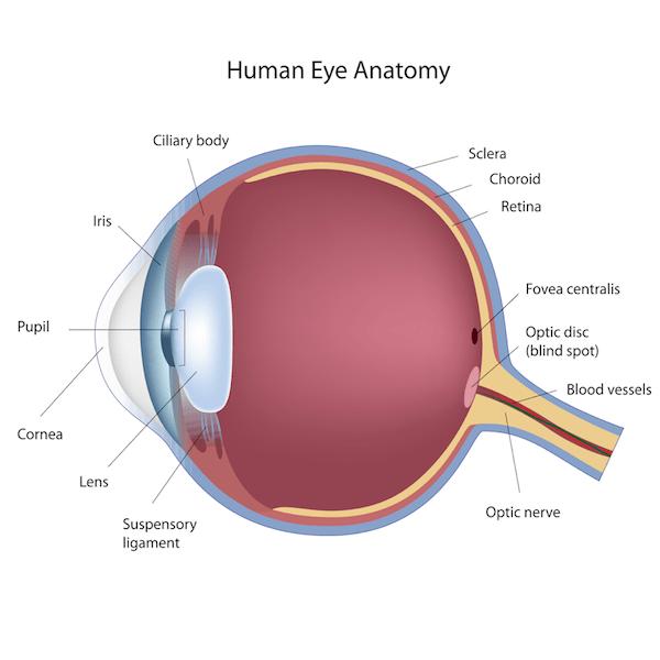 Eye Anatomy - Pediatric Ophthalmology PA