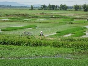 VIETNAM-Hanoi arrozales