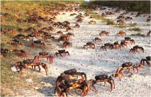 crabs migrations cuba netssa com