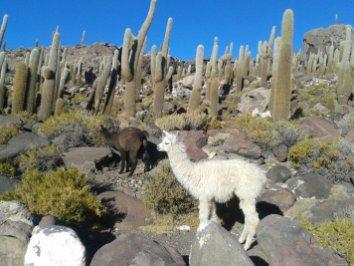 llamas bolivia - Qué hacer en BOLIVIA⛲
