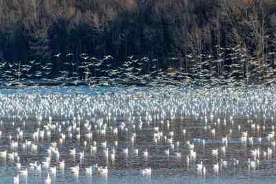 Birds at Middle Creek Wildlife Management Area, Lancaster, PA