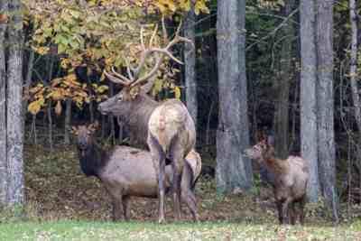 Elk in Elk County, PA