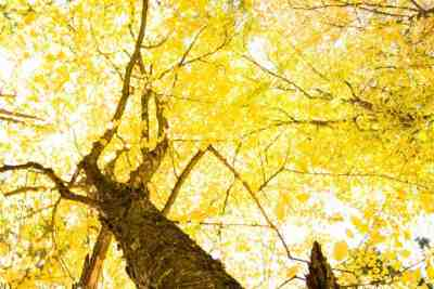 Golden Leaves in the Quehanna Wild Area