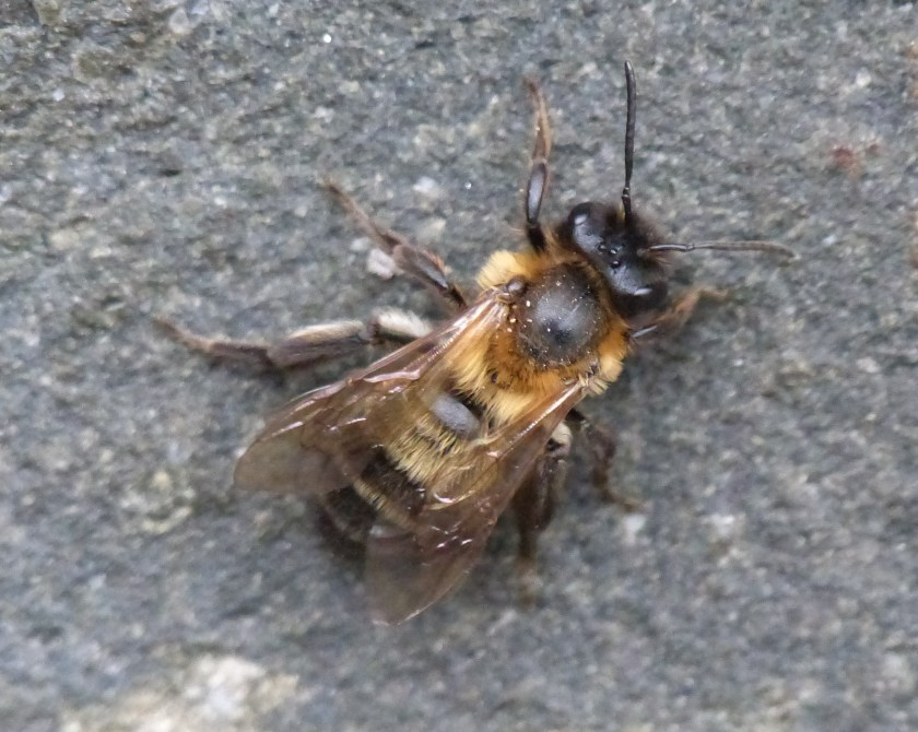 Andrena nigroaenea (Buffish mining bee)