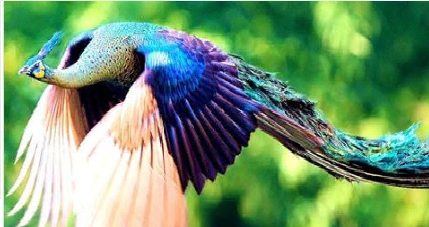 你看過《孔雀開屏》的美麗模樣。但你看過《孔雀飛行》的珍貴鏡頭嗎? - JUSTYOU