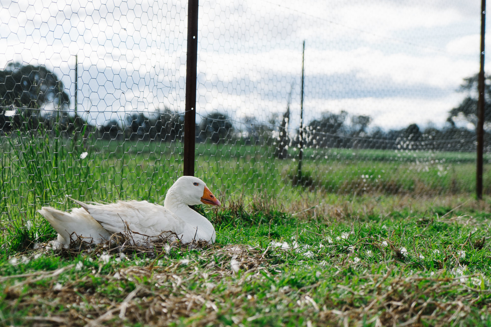 Embden Goose Nesting in a paddock. Featured photo for Geese nesting tips and tricks, how to blog post