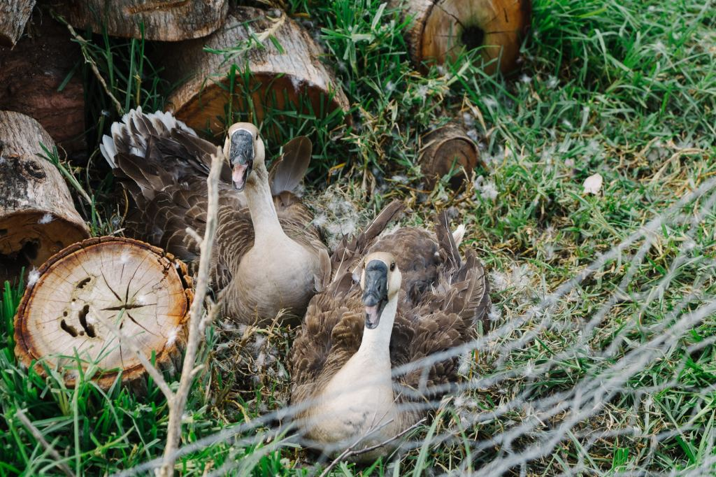 Chinese geese sitting on nest full of eggs for geese nesting tips and tricks how to blog post