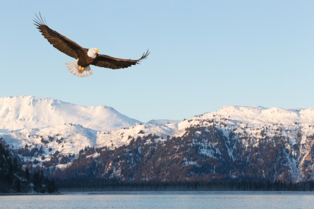 Bald Eagle flying over Snow Covered Mountains Haliaeetus leucocephalus Alaska