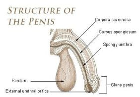 Jelqing - penis structure