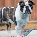 man penis and testicles bitten off by olde english bulldog