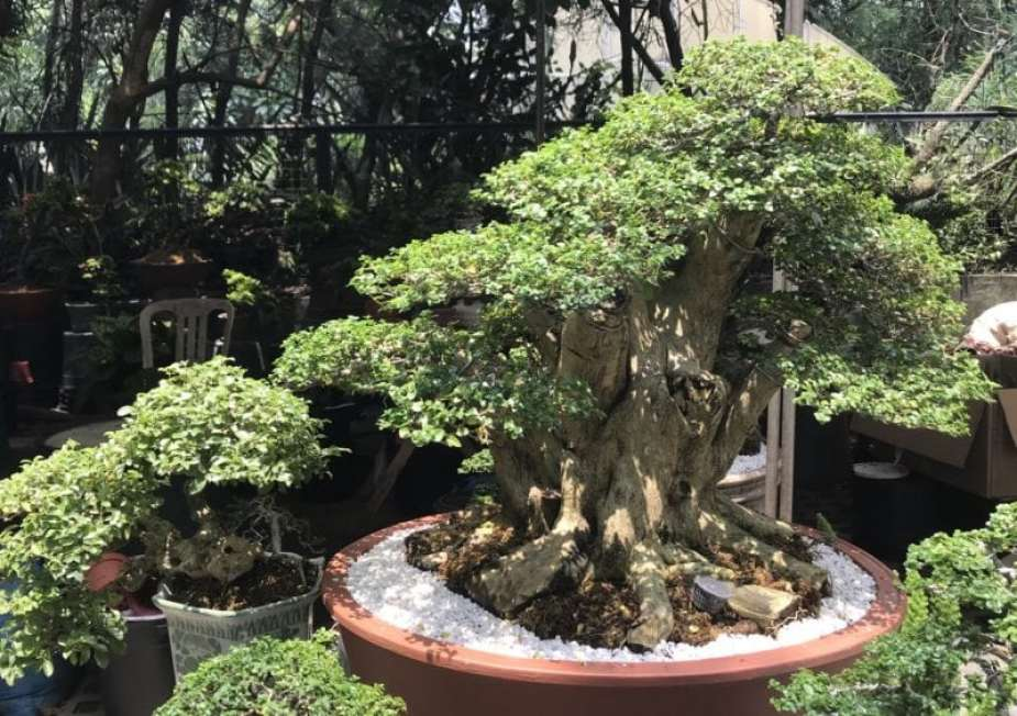 Price of Bonsai In The Philippines