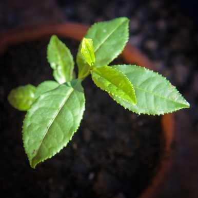 Teplantor omplantering-5