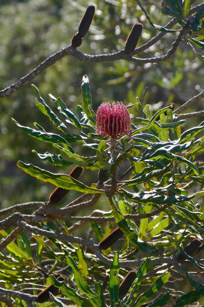 Firewood Banksia, Bold Park. All photos copyright Doug Spencer