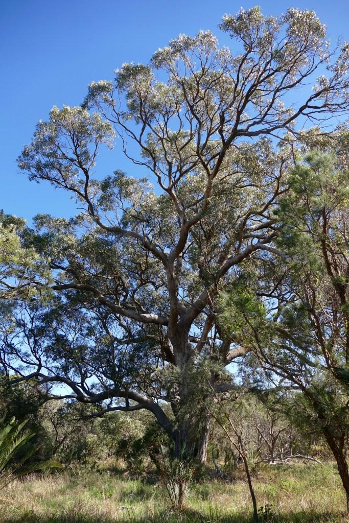 Tuart, Bold Park, Perth. Copyright Doug Spencer