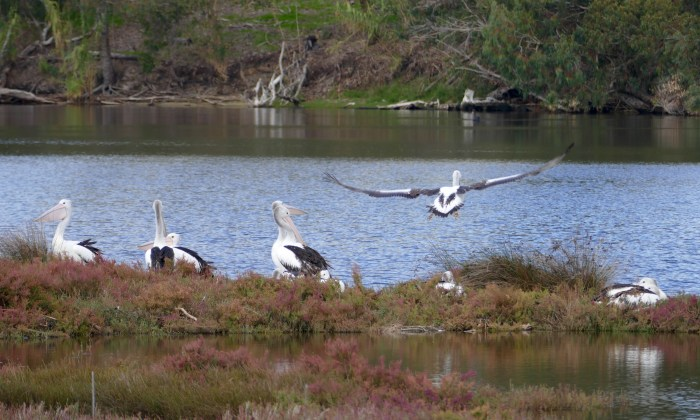 Pelicans, off the Peninsula,Maylands. Copyright Doug Spencer
