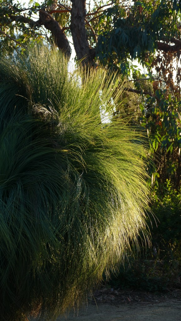 Xanthorrhoea (grass tree)